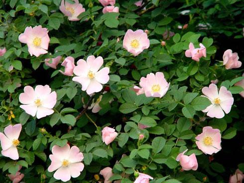 Rosa canina L. boswal Wapse