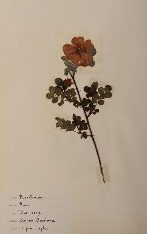 Herbarium T.Terpstra-Durkz