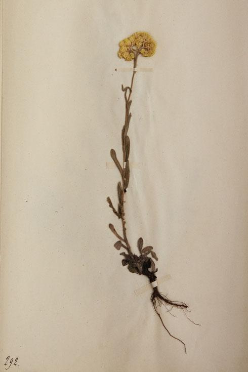 Herbariumvel Apothekers herbarium  collectie herbarium frisicum