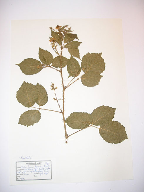 Rubus bonus-henricus Matzke-Hajek  typelocatie  Duitsland