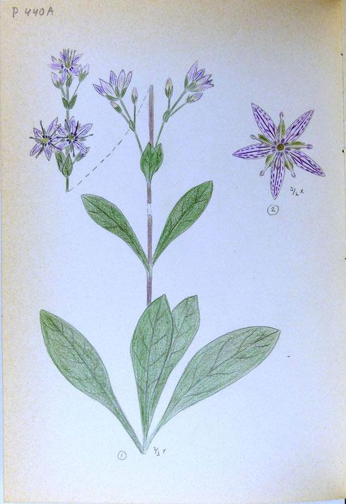 Swertia perennis L., gezien tijdens een familievakantie op 26 juli 1979, in een moeras ten westen van Longemaison [Dep. Doubs] in Frankrijk.