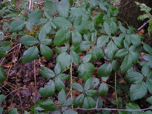 Rubus silvaticus Weihe & Nees   Echten