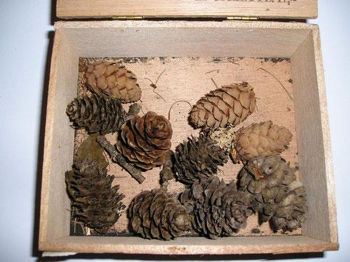 Larix decidua Miller Oostenrijk Tirol  collectie herbarium frisicum