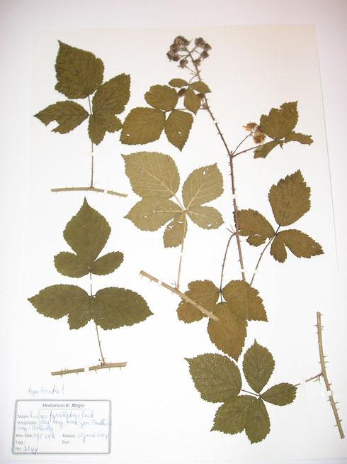 Rubus favillatus Beek typelocatie