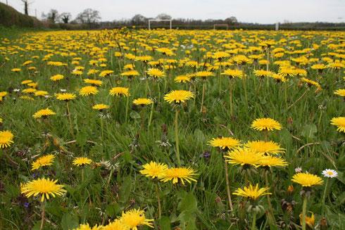 In dit sportveld bloeien meer dan 50 soorten!