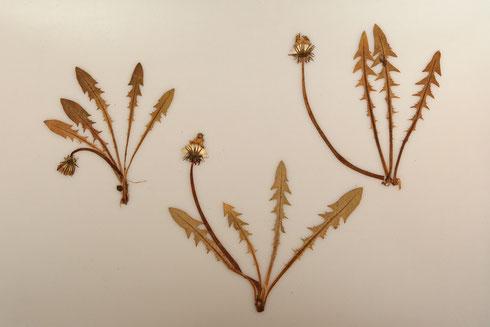Taraxacum ploegii Hagendijk Van Soest &Zevenbergen  collectie herbarium frisicum
