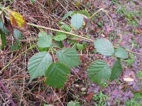Rubus surrectus Meijer  Havelte