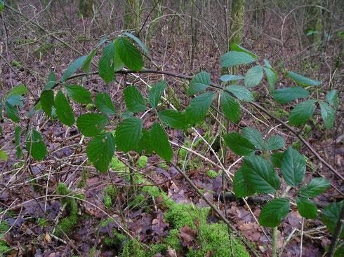 Rubus schlechtendalii Weihe ex Link  Noordwolde
