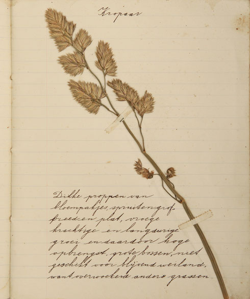 Bladzijde herbariumschriftje Teun Tolman   collectie  herbarium frisicum