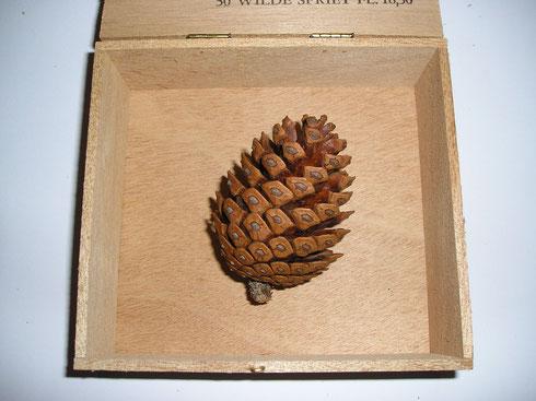 Pinus halepensis Miller  Italie  Monte Gargano  collectie herbarium frisicum