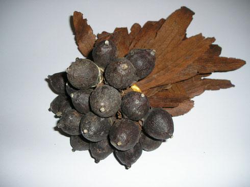 Dipterocarpus obtusifolius Teijsm.ex Miq. leg. E.van der Hoeven  Vietnam collectie herbarium frisicum