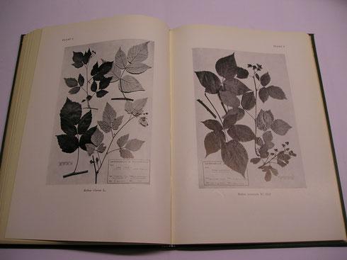 Foto's van bramen in de Rubi Neerlandici  collectie herbarium frisicum