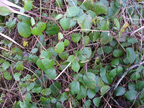 Rubus erinulus Beek Wapserveen