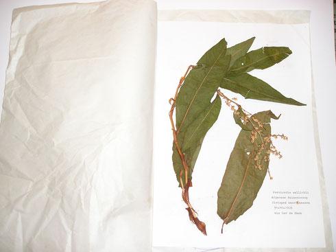 Onderdeel herbarium Jan Herman Engelen  collectie herbarium frisicum