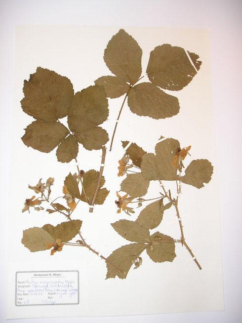 Rubus magnisepalus Meijer  holotype