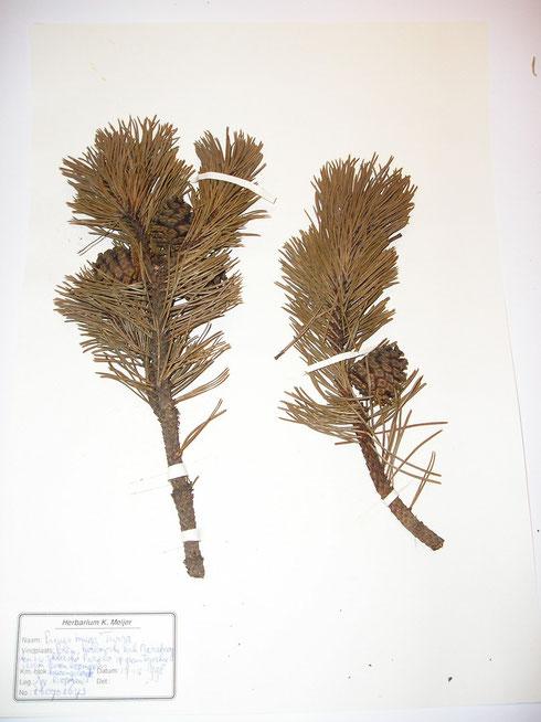 Pinus mugo Turra  Polen  collectie herbarium frisicum