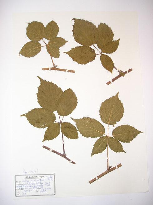 Rubus frisicus [Frid.ex Focke]Focke  typelocatie Duitsland