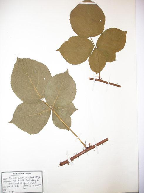Rubus passionis Beek et Meijer typelocatie