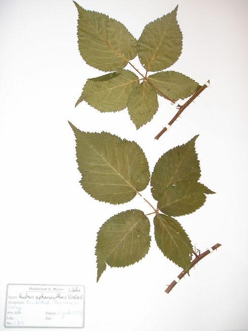 Rubus aphananthus Walsemann ex Martensen  Duitsland