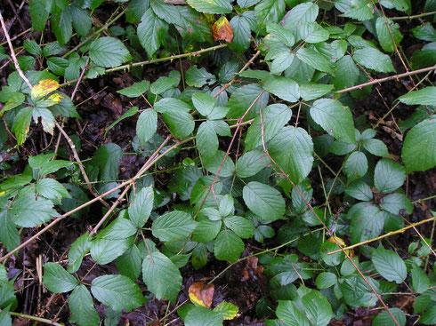 Rubus beijerinckii Meijer   Echten