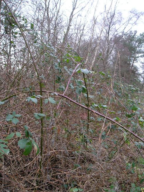 Bramenstruweel bij Havelte met Rubus vigorosus P.J.M. & Wirtg.