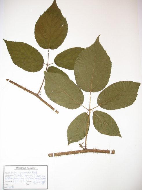 Rubus praticolor Beek typelocatie