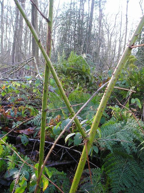 Rubus nessensis W.Hall Oldeberkoop