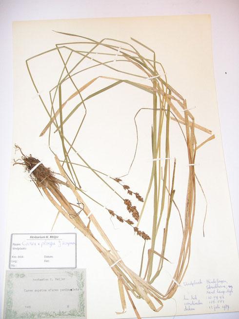 Carex x ploegii J.Koopman  collectie herbarium frisicum