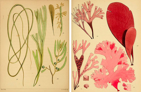 Bladzijden uit A Popular History of British Seaweeds