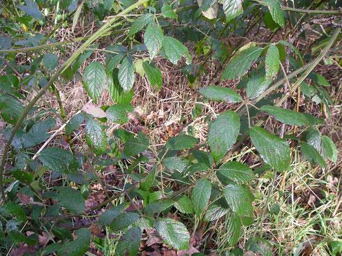 Rubus chloocladus W.C.R.Watson   Zandhuizen