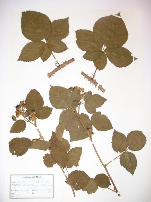 Holotype  Rubus coccinatus Meijer