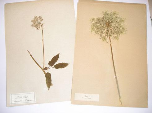 Herbarium C.H.de Windt  1918  collectie herbarium frisicum