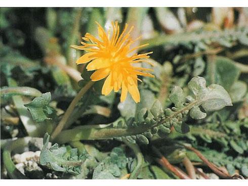 Taraxacum aphrogenes meikle typelocatie Paphos klifrots Cyprus
