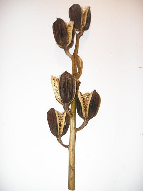 Cardiocrinum giganteum [Wall] Makino  zaaddozen  in tuin Waskemeer  collectie herbarium frisicum