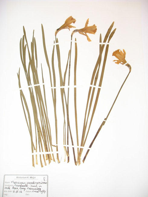Narcissus pseudonarcissus L. in oude tuin Noordwolde- Zuid  collectie herbarium frisicum