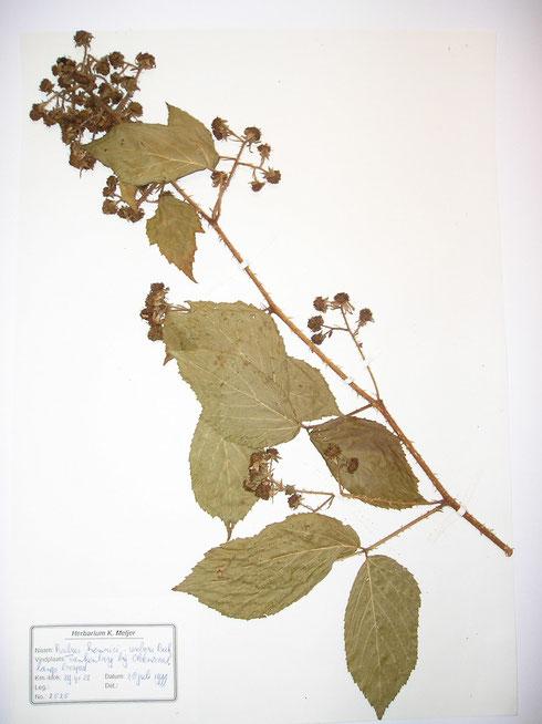 Rubus henrici-weberi Beek