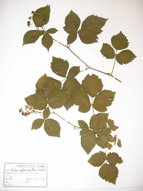 Rubus aphananthus Walsemann ex Martensen