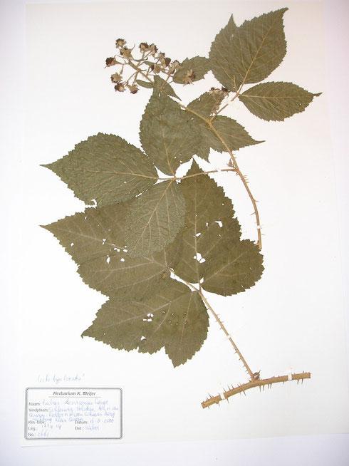 Rubus slesvicensis Lange  typelocatie  Duitsland