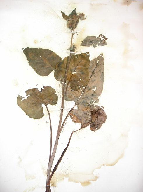Herbariummateriaal aangetast door schimmel