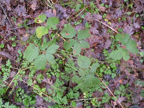 Rubus camptostachys Braun   Havelte