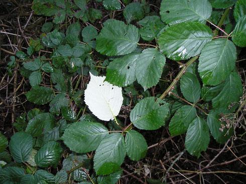 Rubus armeniacus Focke  Havelterberg