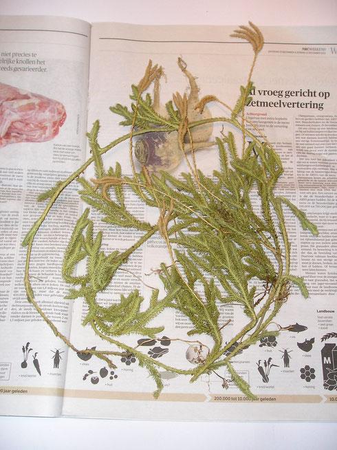 Lycopodium clavatum L. Wit- Rusland [Belarus/ Byelorussia]  collectie  herbarium frisicum