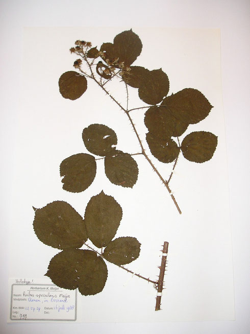 Rubus speculans