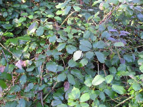 Rubus ulmifolius Schott   Stiens