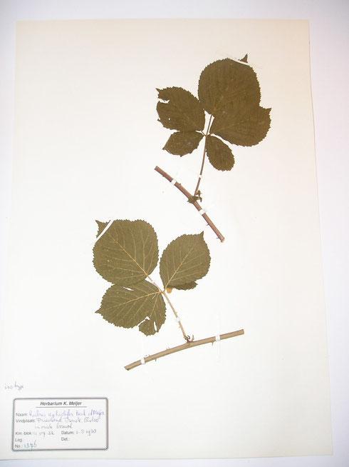 Rubus aphidifer Beek et Meijer  typelocatie