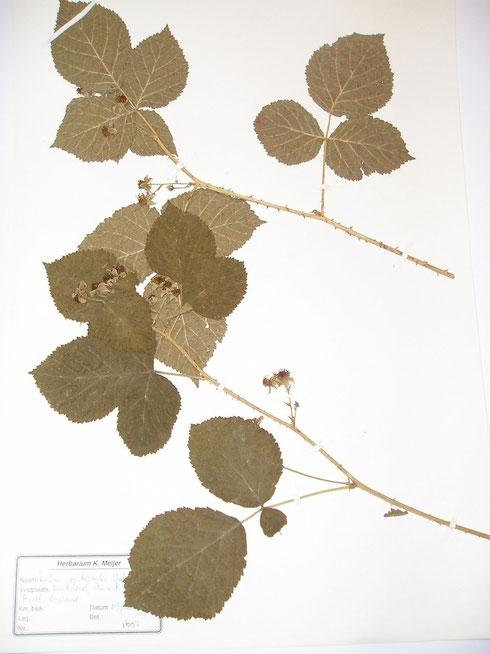 Rubus picticaulis Weber Duitsland
