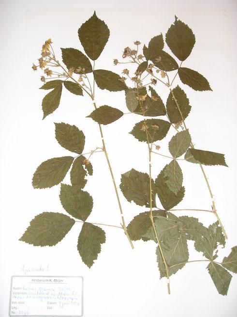 Eubus griesiae Weber  typelocatie