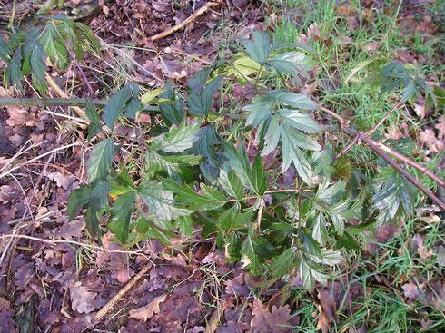 Rubus laciniatus Willd.  Noordwolde
