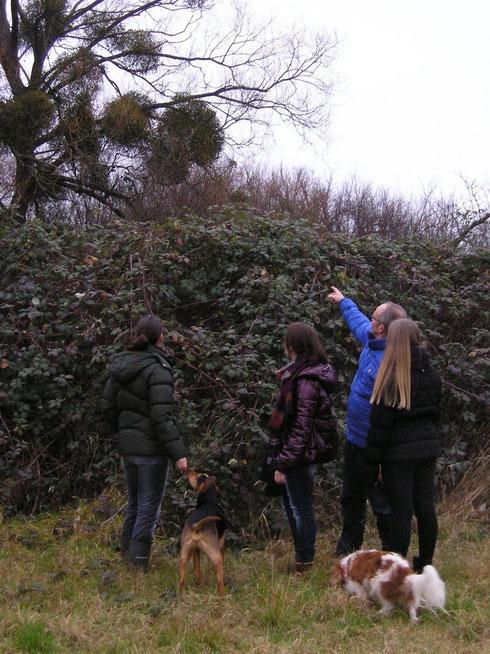 Karst Meijer wijst de studenten op het voorkomen van de maretak in de wilgenboom