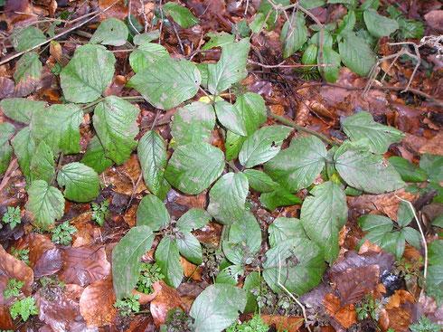 Rubus negatus Beek    Echten
